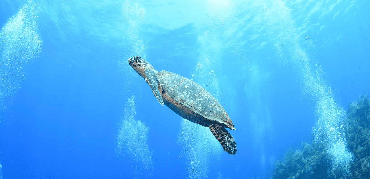 Sea Turtle in Roatan